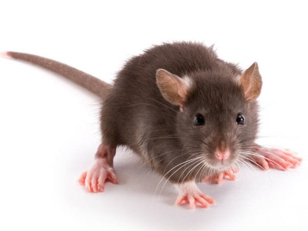 No long term effects of inhaled nicotine after testing it on rats