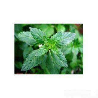 Menthol flavor enhances nicotine addiction
